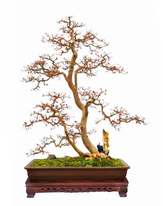 Foto: Bonsai Clubs International