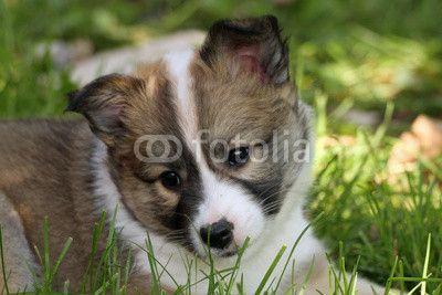 Sold at #Fotolia: #49547124 - 1302017 - Islandhund #Angelika Möthrath