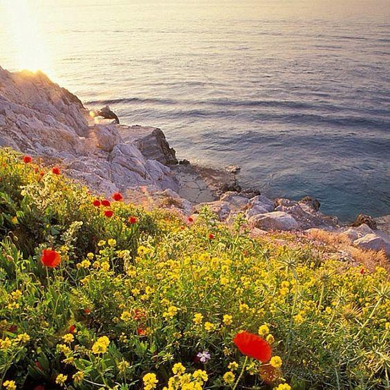 Aegean poppy