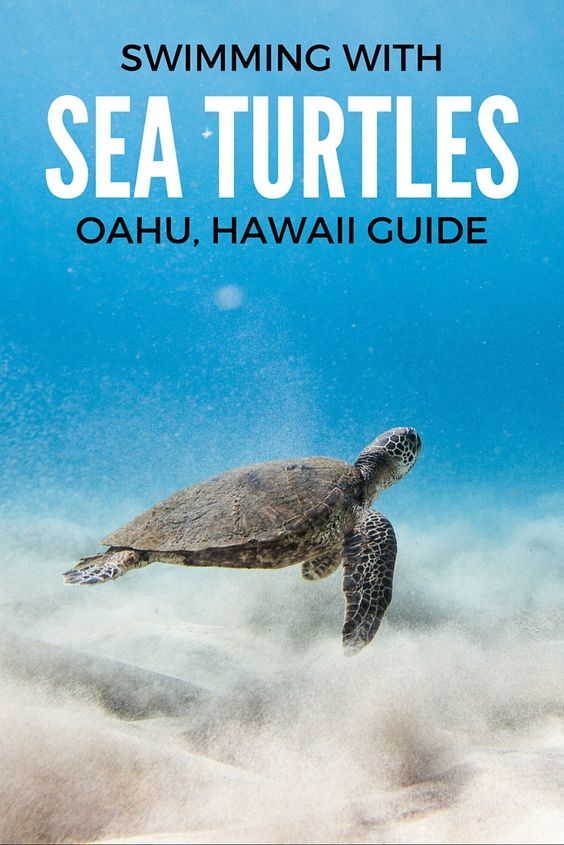 CLICK TO FIND OUT WHERE TO GO ON OAHU, HAWAII TO SWIM WITH SEA TURTLES!