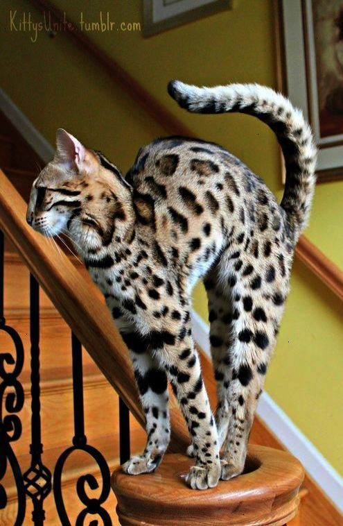Bengal Cats Cute Cats And Dogs Bengal Kitten Cute Animals