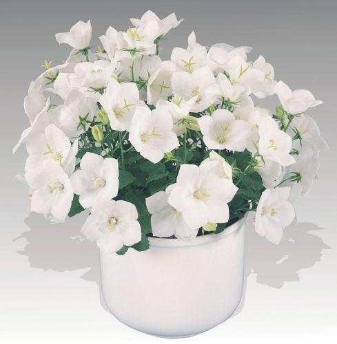 Pearl White Carpathian Bell Flower Campanula Live Plant 4 034 Pot Live Plants Campanula Flowers