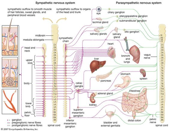 understanding the autonomic nervous system The autonomic nervous system itself although stimulus-response mechanisms are the easiest to understand, the nervous system is also capable of controlling.
