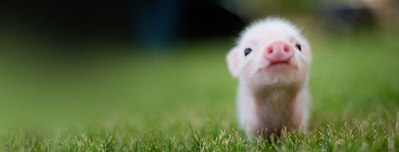 Want him too!: Little Pigs, Baby Piglets, Baby Piggy, Baby Pigs, Cute Piggies, Teacup Piggy, Animal