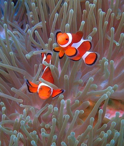 clownfish symbiotic relationship with anemones white