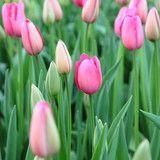 Field of beautiful pink tulips