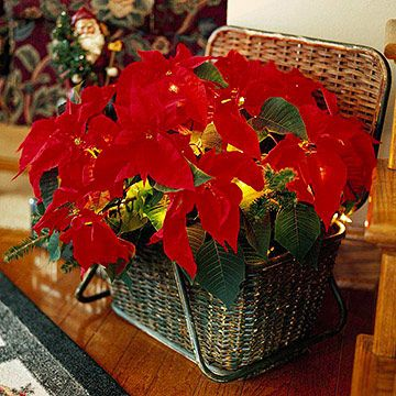 All Lit Up | Put an extra strand of Christmas lights to good use for a glowing plant display. Place a potted poinsettia inside a lidded basket. Carefully weave a 50- to 100-bulb strand of miniature lights among the colorful bracts and tuck the plug end of the cord between the basket and the lid. Attach to an extension cord, plug in, and watch it glow.