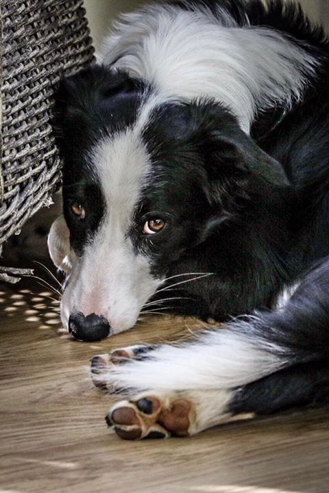 Pin By Jason Lueders On Hanna Border Collie Puppies Collie Dog Collie Puppies