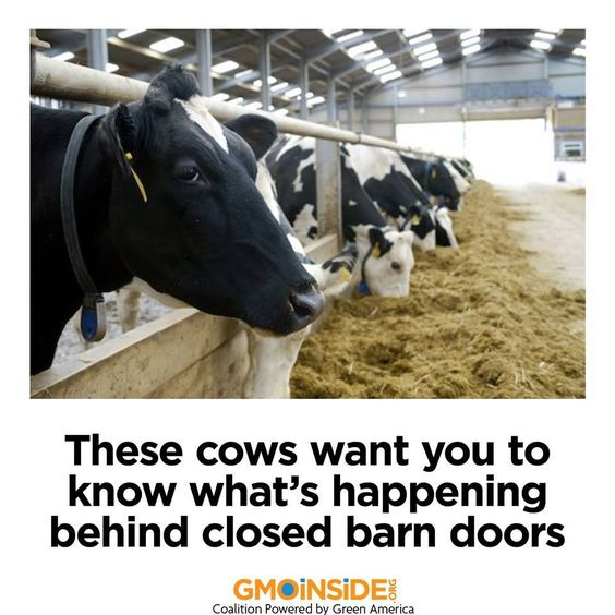 5 dirty secrets of the dairy industry! The sobering truth about factory dairy farms—and three ways you can make cows happier. http://www.takepart.com/article/2012/04/12/5-things-you-dont-know-about-dairy-industry?cmpid=foodinc-fb #GMOs #Dairy #CAFOs #Agriculture #AnimalWelfare GMO Inside