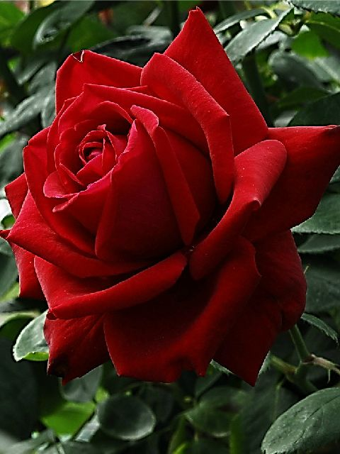 Stunning Red Rose: