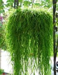 long trailing indoor plants - Google Search
