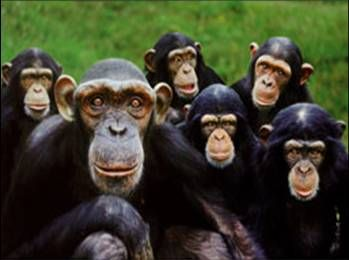 manga de monos: Chimpanzee, Dani S Apes Gorillas Monkeys,  Chimp, Visit Monkey, Family Photo, Animal