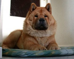 7. Chow Chow (Weight: 50-70 lbs.)    The Chow Chow seems to be distant and independent, however they require staunch attention. If badly bred they can become aggressive dogs.