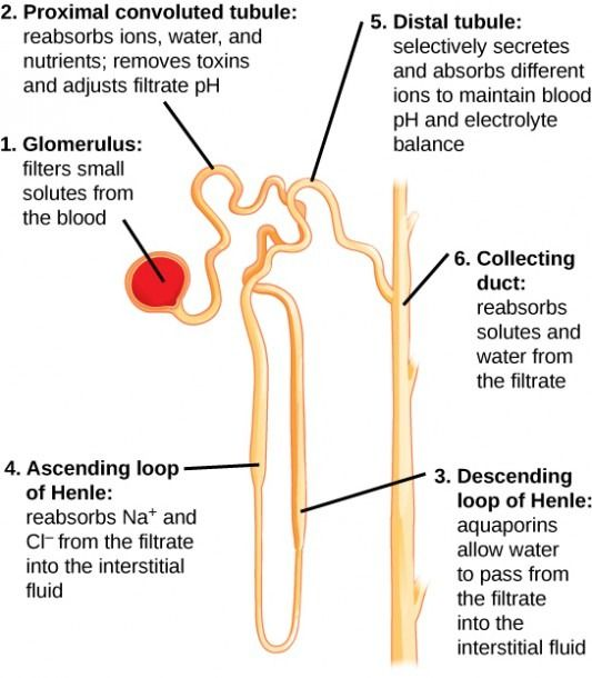 Diagram Of The Nephron And Its Functions Medical Knowledge Anatomy And Physiology Human Anatomy And Physiology