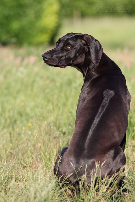 Weimaraner-Rhodesian Ridgeback Mix what a gorgeous dog!