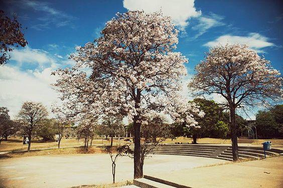 Ipê branco - UNB - Brasília.