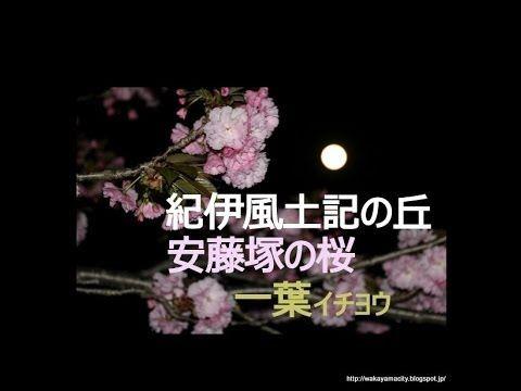 【 うろうろ紀伊風土記の丘 】 夜桜 イチヨウ 一葉  緑 の 桜 御衣黄 ギョイコウ 和歌山県 和歌山市