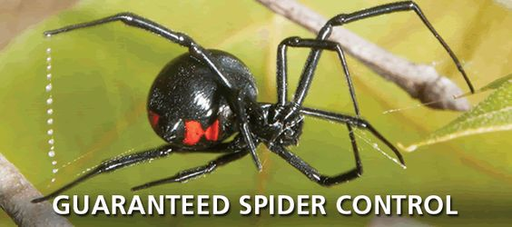 Guaranteed Spider Control