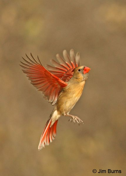 Female cardinal in flight - photo#10