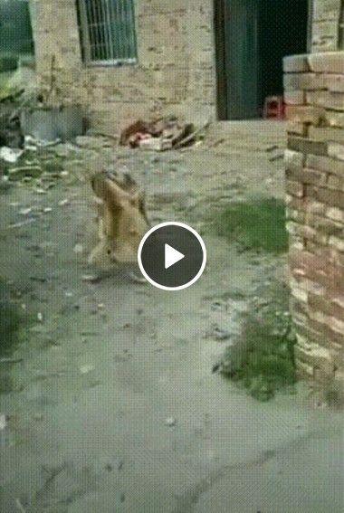 Gato apavora cães que brigam.