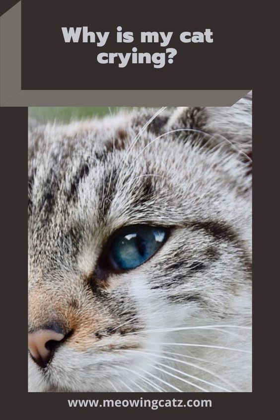 Do Cats Cry What To Know And What To Do About A Crying Cat Cat Crying Cats Cat Skin