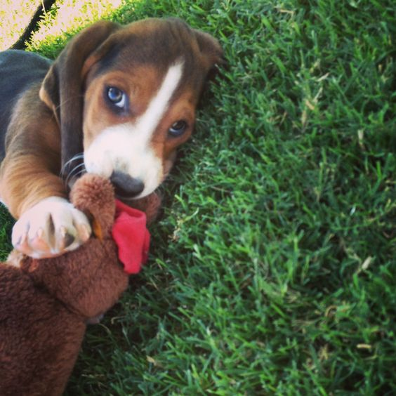 Baby Basset Hound! My little Leroy when he was about 6 weeks old!