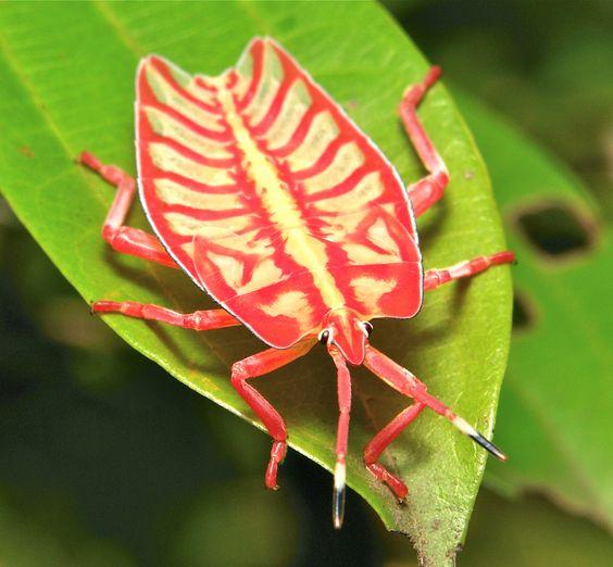 Giant Shield Bug or Giant Stink Bug Nymph (Tessaratomidae) | by John Horstman