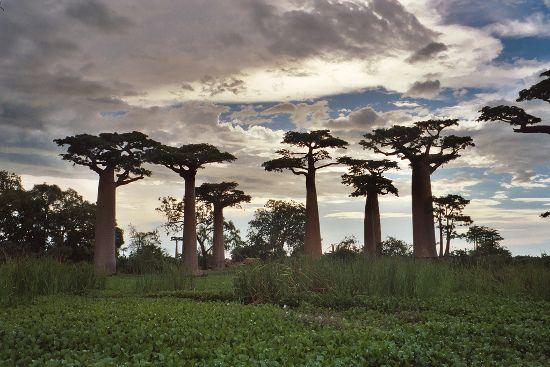 Adansonia Grandidieri, Madagasgar