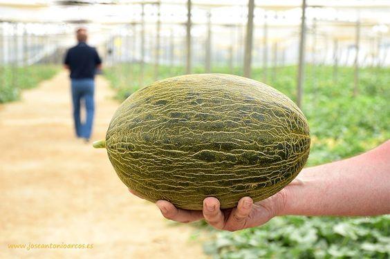 Haciendo screening de melón con Enza Zaden #agricultura #agriculture #melon #greenhouse #inveranaderos
