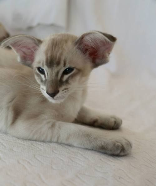 Pin By Ella Cooper On Art Challenges In 2020 Balinese Cat Cat Breeds Tabby