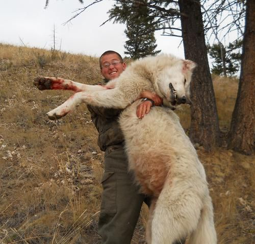 World Record Coyote Killed | The Year of Canis Lupus: Wolf ...