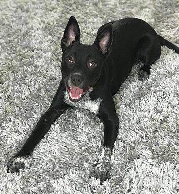 Orlando Fl Australian Cattle Dog Meet Khaleesi A Pet For Adoption