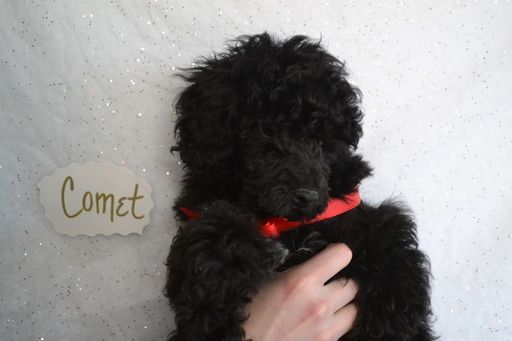 Litter Of 3 Poodle Toy Puppies For Sale In Onaga Ks Adn 64085