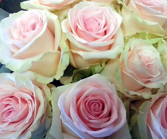 vaaleanpunaiset #ruusut #roses