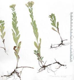 sericocarpus rigidus-------white top aster----------vulnerable g3-------------willamette valley