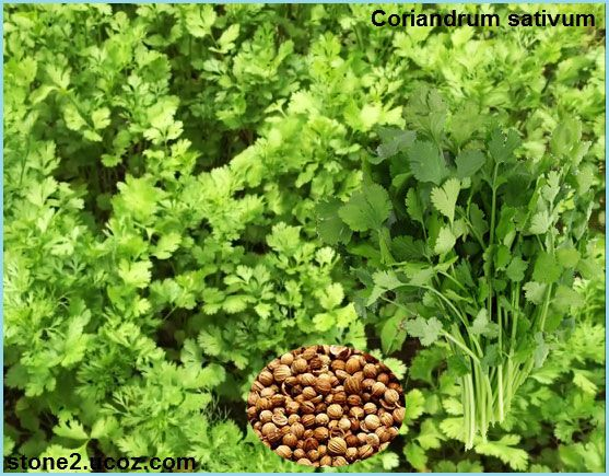 Pin By Mimo Almsadie On الخضروات Herbs Parsley