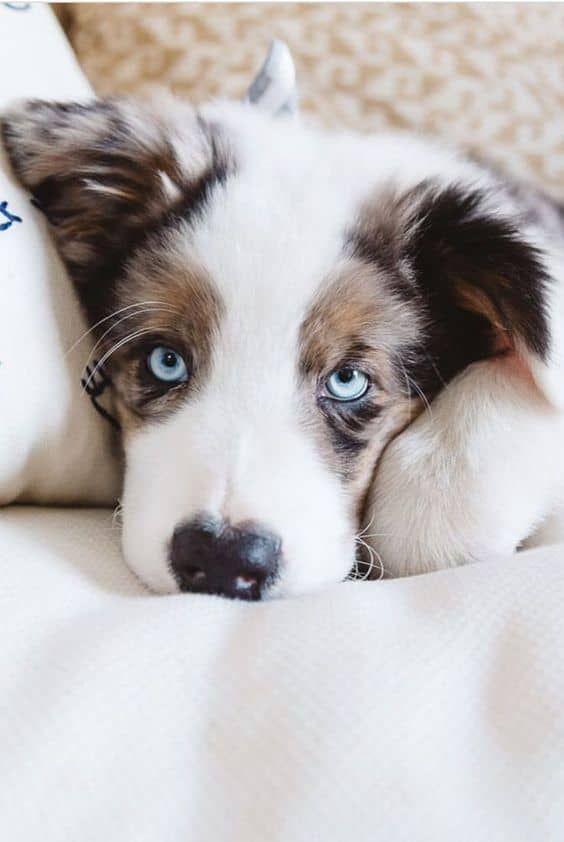 Diese Blauen Augen Knuddelig Aussie Puppies Puppies Beautiful