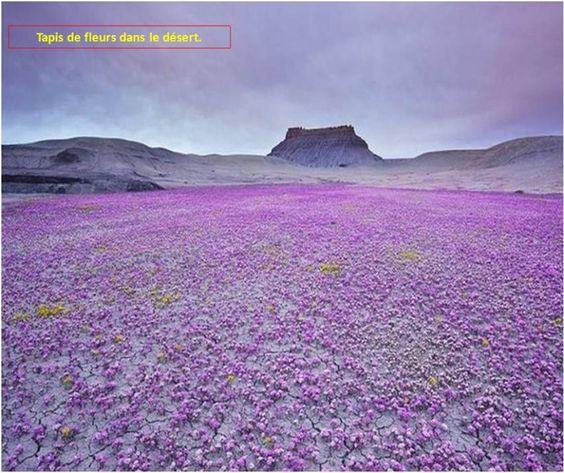 A sea of purple in the bad lands of Utah.