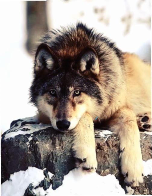Wolf Schnee Vertraumt Wolf Im Schnee Vertraumt Und Trotzdem Wachsam Ein Wunderschones Geschopf In 2020 Animals Beautiful Animals Wolf Photos