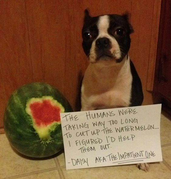 National Watermelon Day 6 Recipes For Watermelon Dog Treats Boston Terrier Terrier Dog Shaming