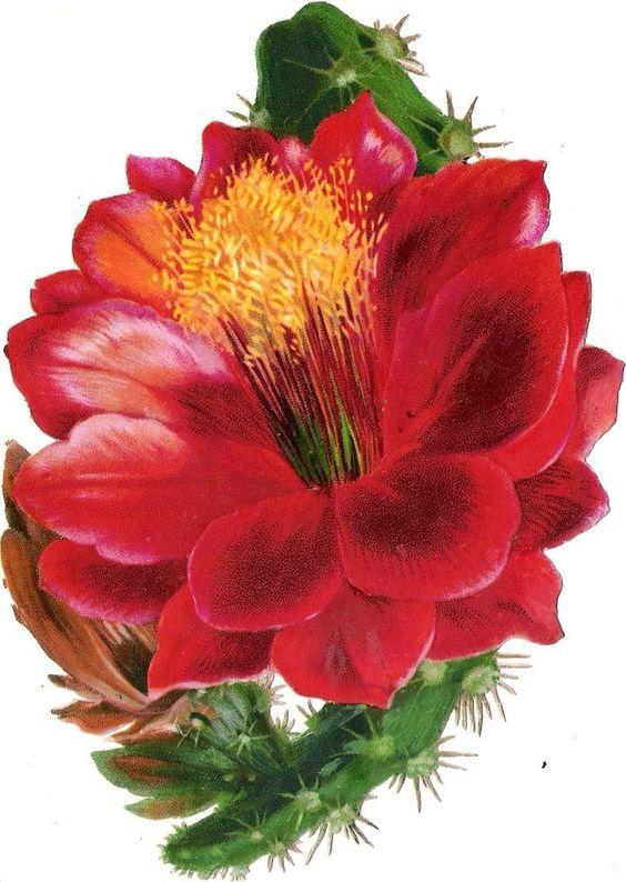 Oblaten Glanzbild scrap diecut chromo Kaktus  16cm  cactus flower blossom Blüte: