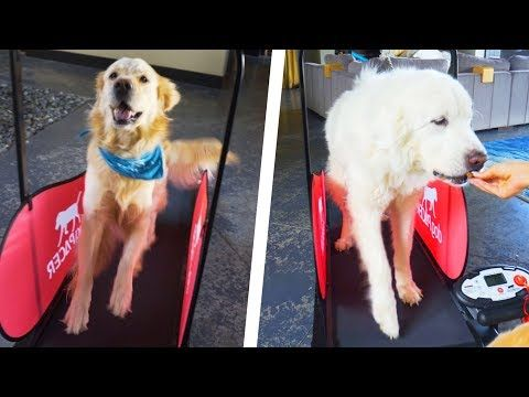 Dogs Try Custom Dog Treadmill Super Cooper Sunday 190 Youtube