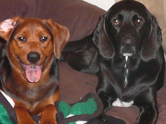 My Dogs!                                                                          Finland- Black Lab/Bloodhound                                      Ireland - Lab/Hound Mix