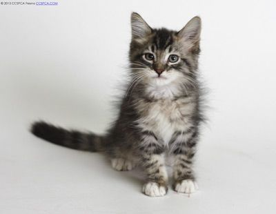Pisces 2 Month Old Male Brown Tabby Domestic Longhair Ico Ca Grey Cats Tridanim Tabby Cat Cat Entertainment Grey Kitten