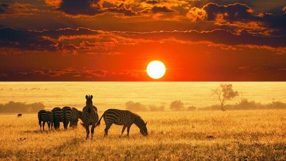 australian kangaroo - Google Search