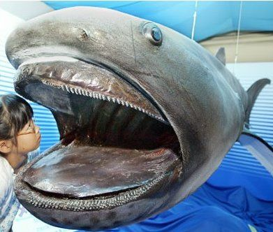 It is real. The megamouth shark is an extremely rare and unusual species of deepwater shark. Discovered in 1976, only a few have ever been seen, with 39 specimens known to have been caught or sighted as of 2007 and three recordings on film.