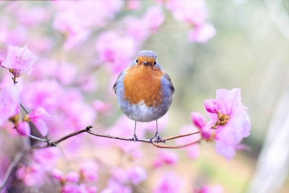 Spring Bird, Bird, Spring, Robin, Flowers, Nature