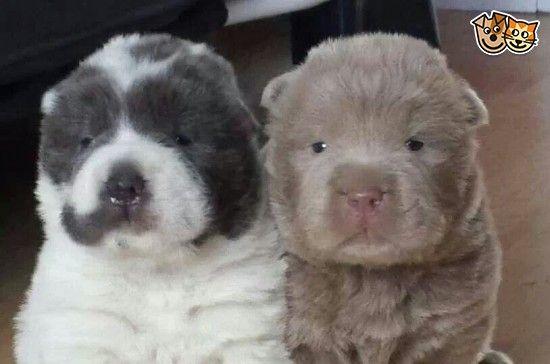 Shar Pei Puppies For Sale Shar Pei Puppies Bear Coat Shar Pei