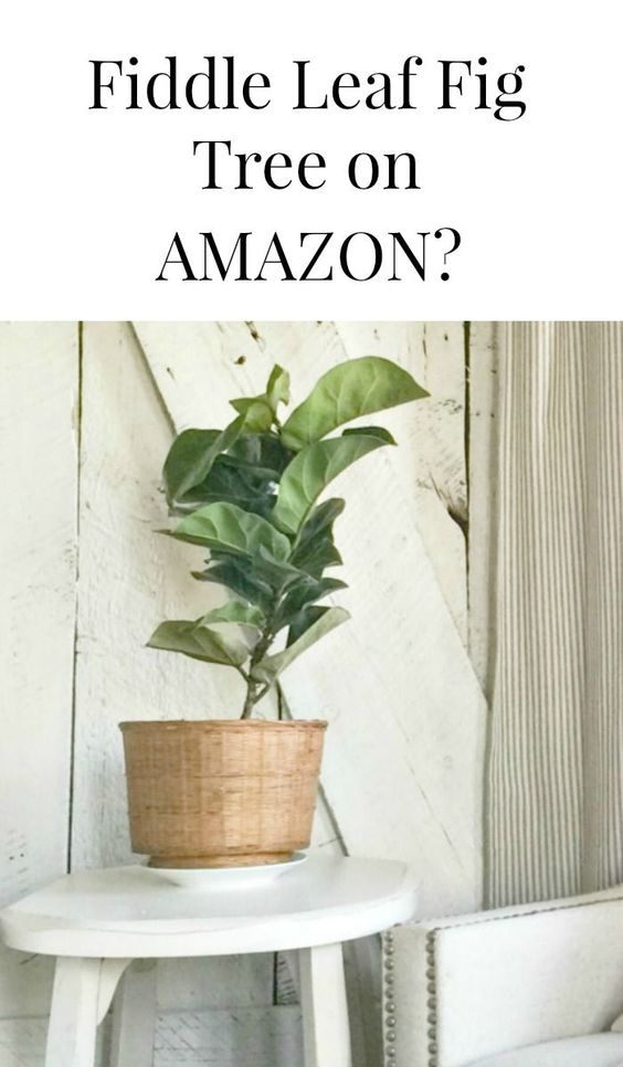 Did you know you can purchase Fiddle Leaf Fig Trees on Amazon?  Amazing!  *affiliate