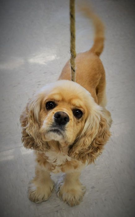 My name is Molly and I am a purebred Cocker Spaniel.  I must go to an experienced Cocker Spaniel owner.  I am super lovable, but I can be snippy if you touch my ears.  I am getting over an ear infection and learning to get socialized to ear handling since I will be prone to ear problems since most cockers are. I do wonderful with cats and dogs, but need a home with older or no kids. I am super cute and cuddly once I get to know you.  You will fall in love with me.